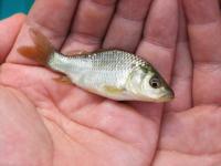 Ara_fish02