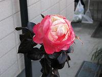Rose13_01