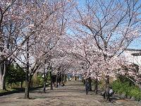 Nature_cherry01