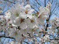 Nature_cherry03