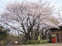 Nature_cherry04