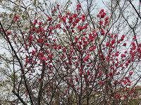 Nature_cherry05