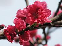 Nature_cherry06