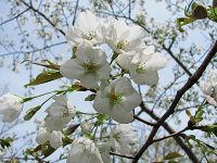 Nature_cherry07
