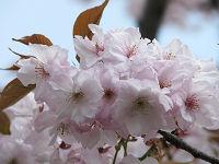 A_cherry01
