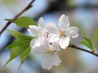 A_cherry11