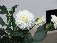 Akabanedai12