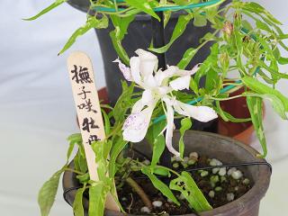Asagao27