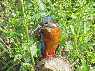 Kingfisher02
