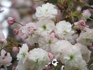 Sakura_0011