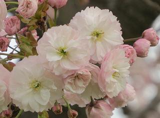 Sakura_0012
