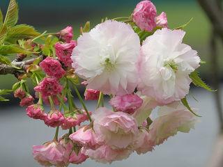 Sakura_0021