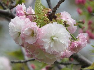 Sakura_0022