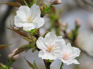 Sakura_0041