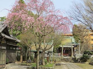 Sakura_06
