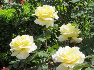 Rose_07