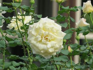 Rose_garden_001