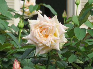 Rose_garden_002