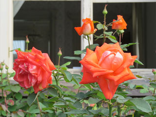 Rose_garden_004