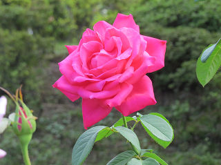 Rose_garden_006