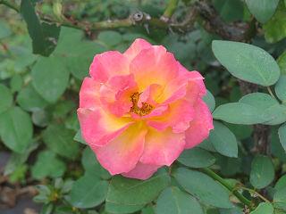 Rose_garden_007