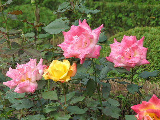 Rose_garden_010