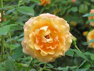 Rose_garden_015