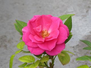 Red_rose_02