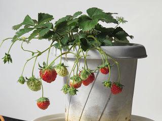 Strawberry_04