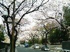 Sakura02