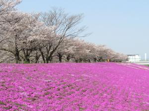 Arakawa-sibazakura-01_20200403122501