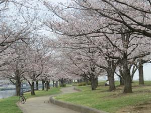 Arakawa-someiyosino-01_20200327111701