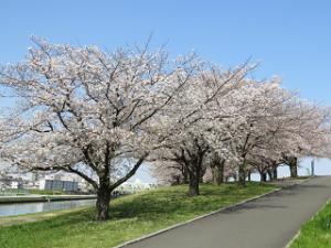 Arakawa-someiyosino-01_20200403122501