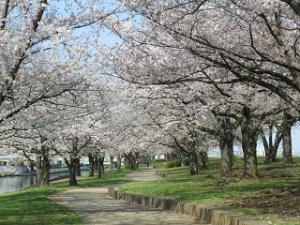 Arakawa-someiyosino-02_20200403122501