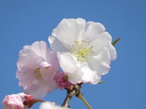 Arakawa-yaebenihigan-02_20200403122401