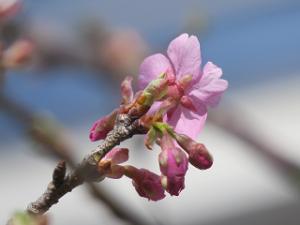 Sakura-05