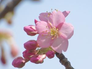 Sakura-07