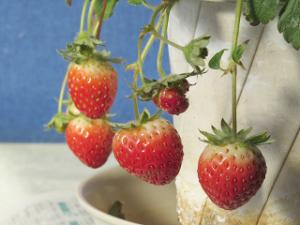 Strawberry-02